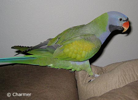 Derbyan Parakeets | ParrotFeather com