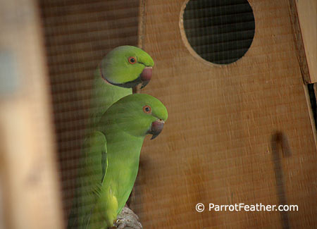 african-ringneck-pair-breeding