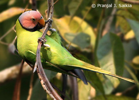 blossom-headed-parakeet