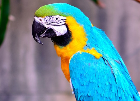Blue and Gold Macaw | ParrotFeather.com