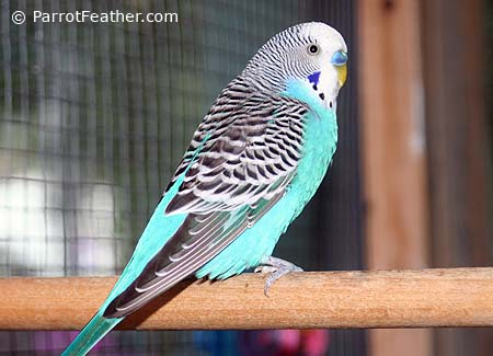 blue-budgie
