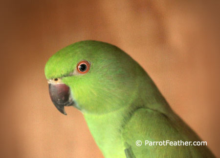 female-african-ringneck