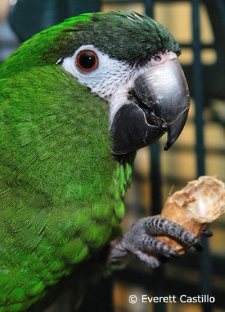 hahns-macaw-eating-peanut