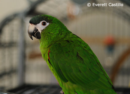 hahns-macaw-on-cage