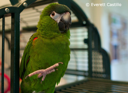 hahns-macaw-one-foot-up