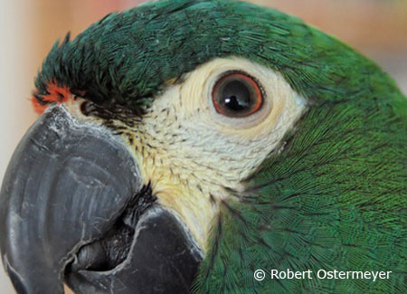 illigers-macaw-close-up