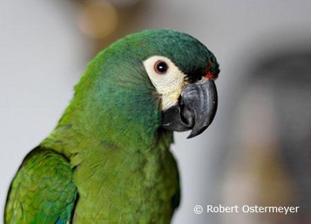 illigers-macaw