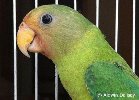 juvenile-plum-headedparakeet