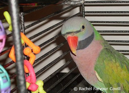 male-moustachedparakeet-in-cage