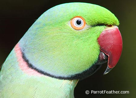 Green Indian Ringneck | www.pixshark.com - Images ...