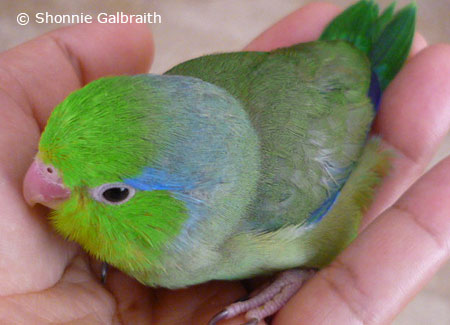 male-green-parrotlet