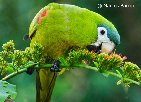 noble-macaw-in-wild