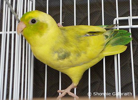 parrotletcage