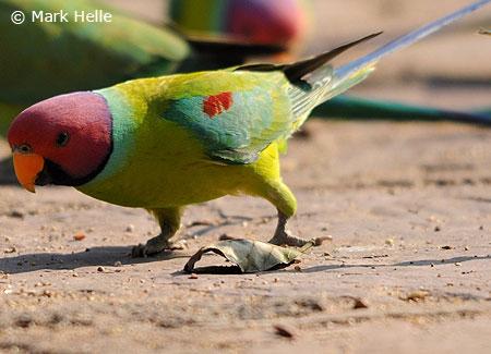 plum-headedparakeets