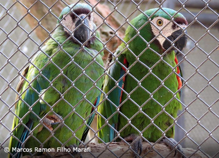 severe-macaw-pair