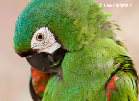 severe-macaw-preening