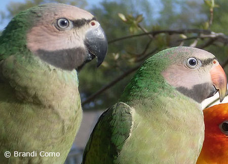 two-young-moustachedparakeets1