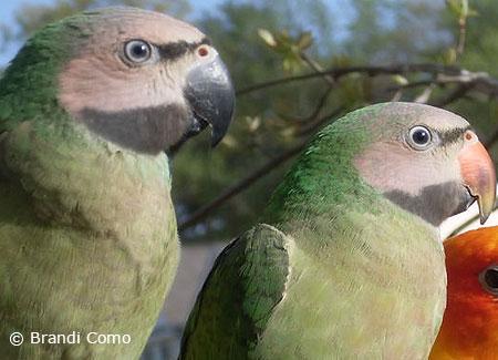 Moustached Parakeet | ParrotFeather com