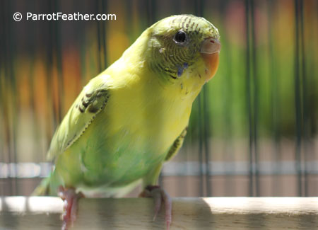 yellow-green-female-budgie