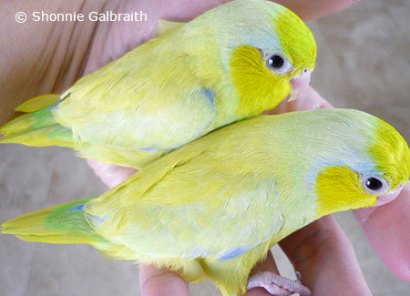 yellow-parrotlets