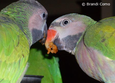 young-moustachedparakeets-eating