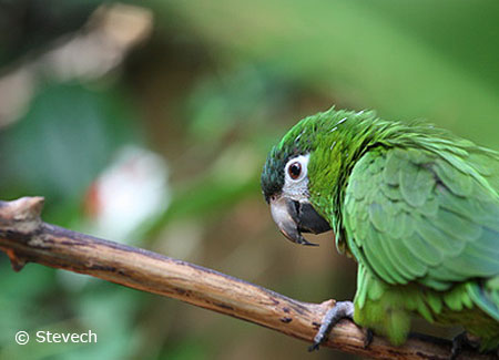 young-noble-macaw
