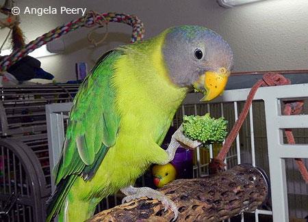 young-plum-headedparakeet
