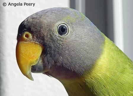 young-plum-headedparakeet1