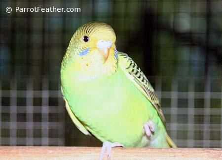 Budgerigar Biting | ParrotFeather com